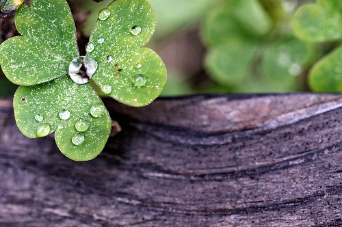 water droplets on a clover shamrock