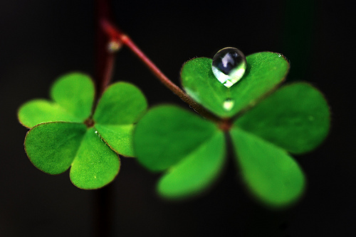 clover shamrock dew drop