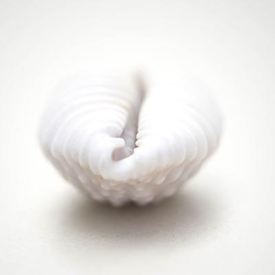 White Sea Shell