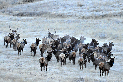 Elk and Frost