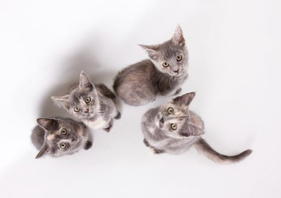 Four gray kittens