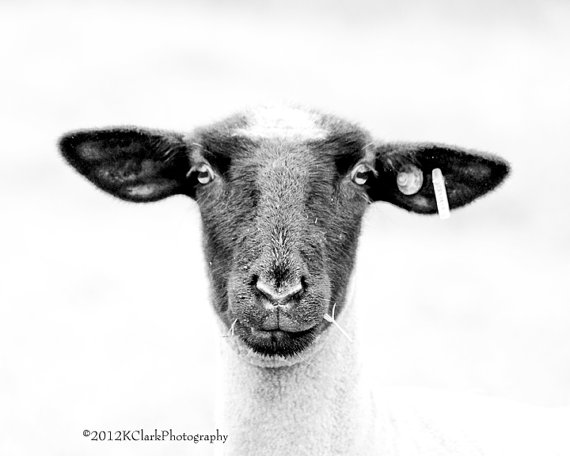 Black and White Sheep