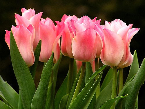 26 Gorgeous Tulip Pictures