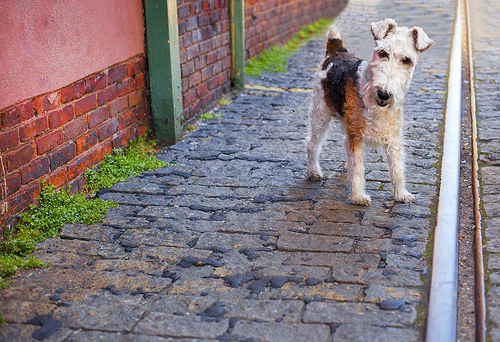 Fox Terrier in DUMBO II