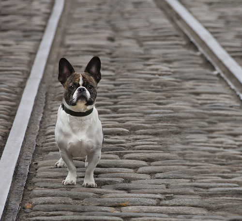 French Bulldog in DUMBO