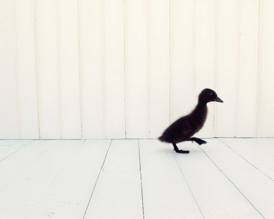 Little Black Duckling
