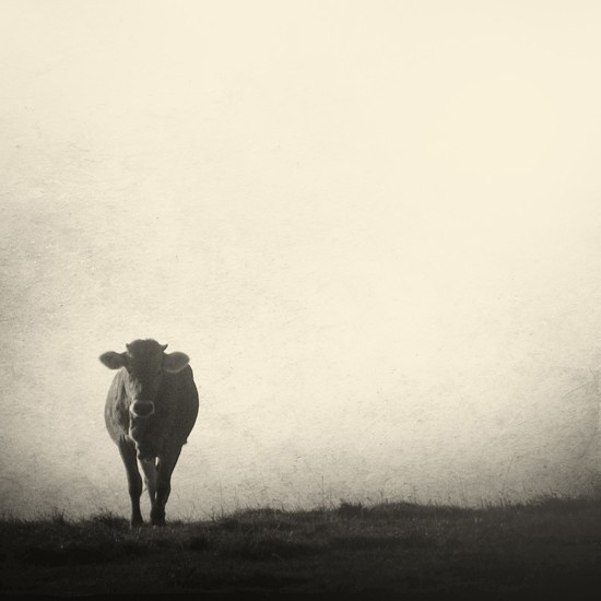 Rencontre cow in mist