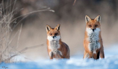 Fantastic Foxes