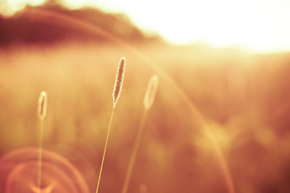 Golden Rays Grass