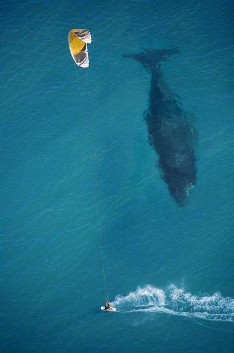 whale and kite surfer