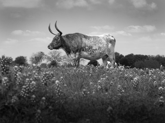 Texas Longhorn in Field of Bluebonnets