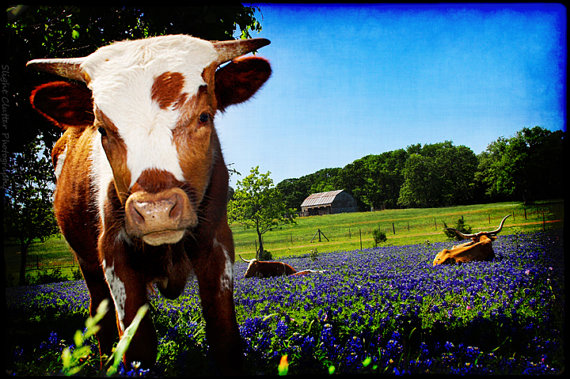 Curiosity Becomes Him Calf in Bluebonnets