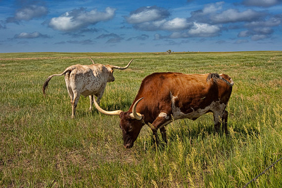 Longhorns on the Prairie