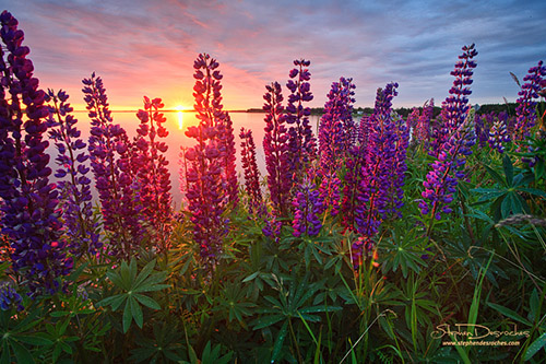 Morning lupines on Prince Edward Island - Canada
