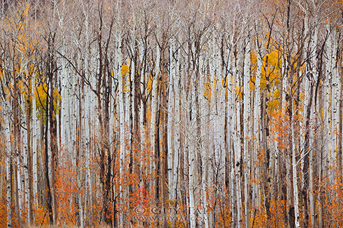 Birch trees in autumn.