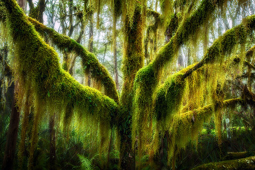 Intense moss growing off the branches of a tree.