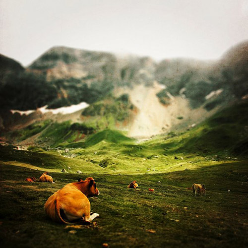 Cows relaxing in a field overlooking a dramatic mountain range in France