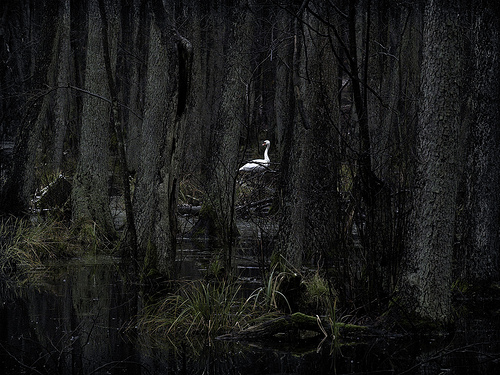 swan forest