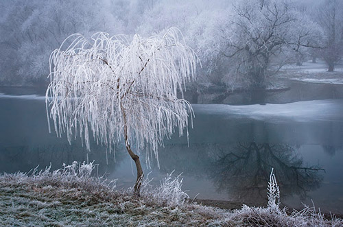 Frost on a lone tree along a river bank.