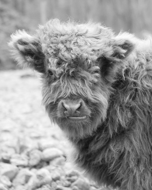 Baby Hairy Cow - Scottish Highland Cattle