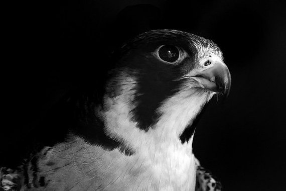 Peregrine Falcon Portrait - Princess