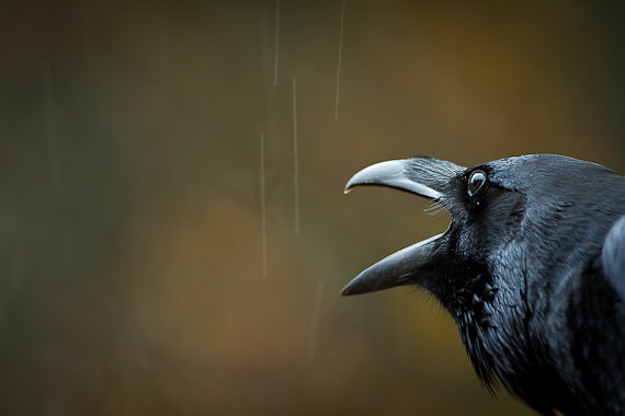 Le Grand Corbeau et La Pluie The Raven and the Rain