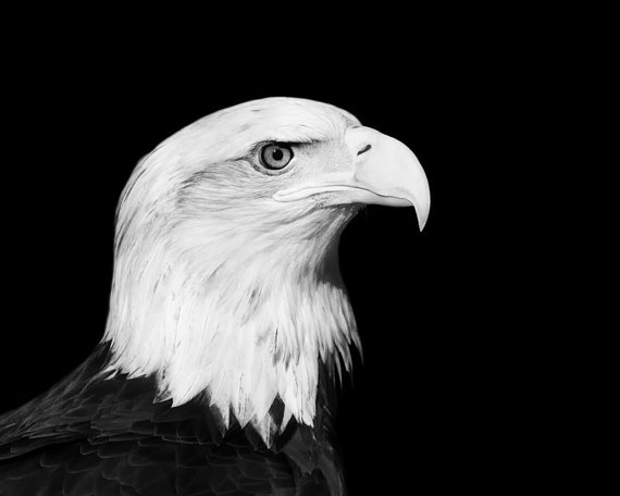 Bald Eagle Portrait Photo - Cerena