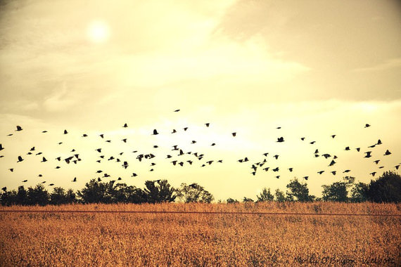 Black Crows flying over Fall Cornfield Landscape