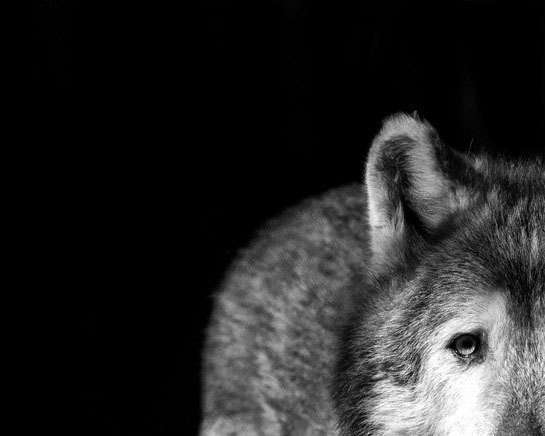 Gray Wolf Stare Photo - I've Got My Eye on You