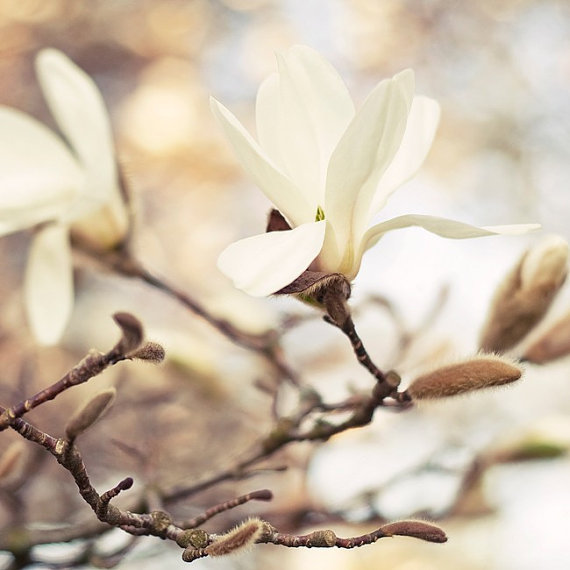 White beauty magnolia