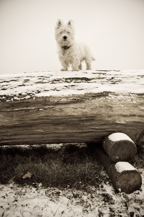 I am Crumpet 3 - Westie - West Highland terrier - Dog Photography