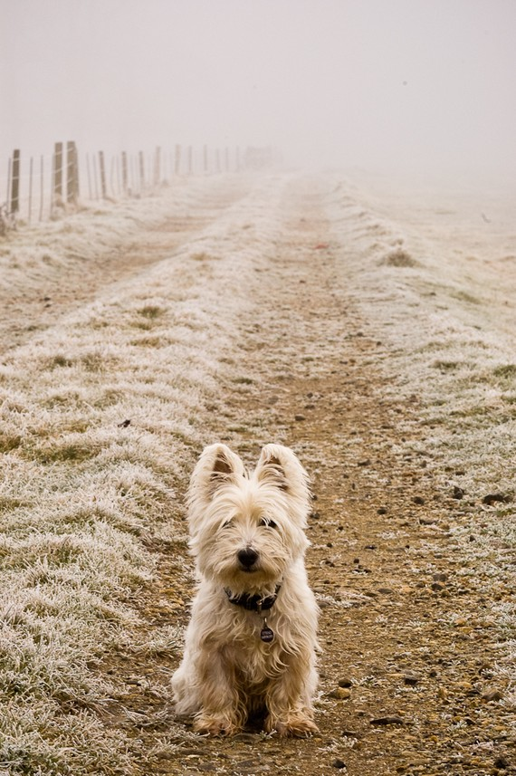 I am Crumpet 1 - Westie - West Highland terrier - Dog Photography