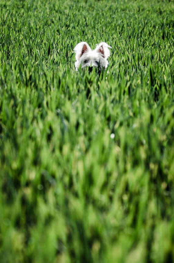 I am Crumpet 5 - Westie - West Highland terrier - Dog Photography