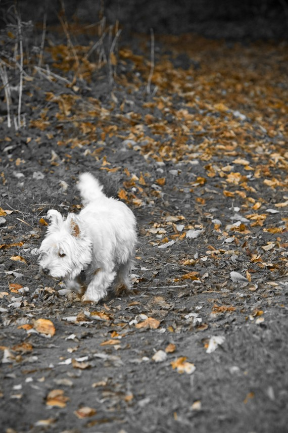 I am Crumpet 6 - West Highland terrier - Westie - Dog Photography