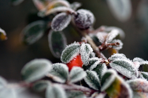 Frost and berries (Winter solstice)