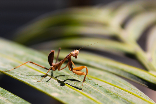 Praying Mantis - Strike a pose.