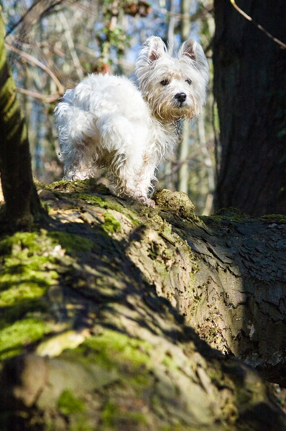 I am Crumpet 4 - Westie - West Highland terrier - Dog Photography