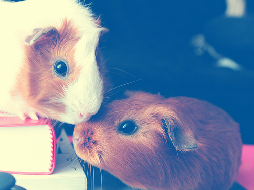 The Kiss guinea pigs