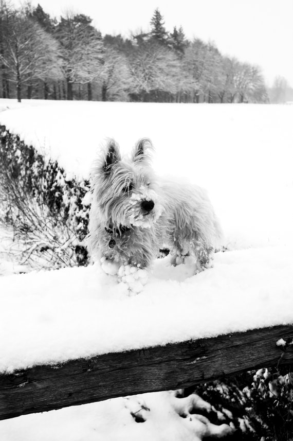 I am Crumpet 13 - Dog Photography - Westie - West Highland terrier