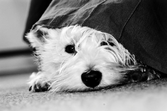I am Crumpet 16 - Dog Photography - Westie - West Highland terrier