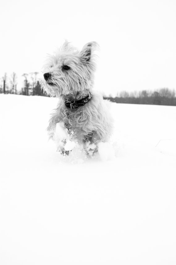 I am Crumpet 14 - Dog Photography - Westie - West Highland terrier