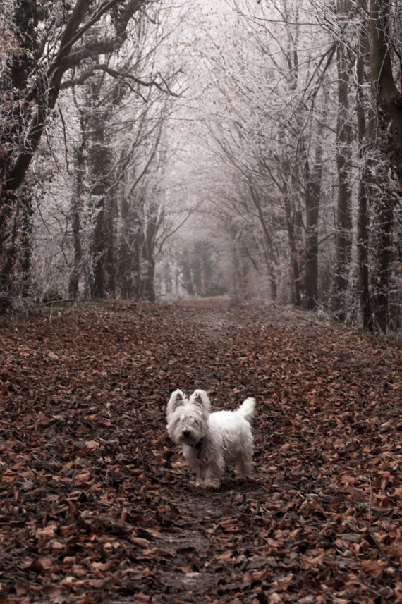 I am Crumpet 9 - Dog Photography - Westie - West Highland terrier
