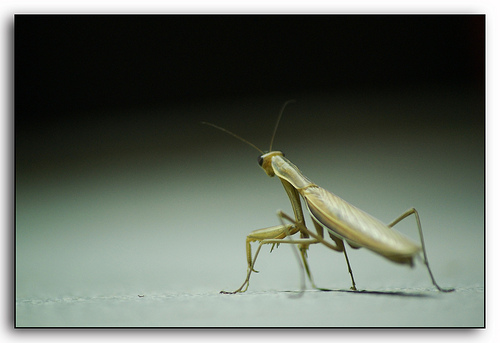 Mantis Religiosa, Praying Mantis.