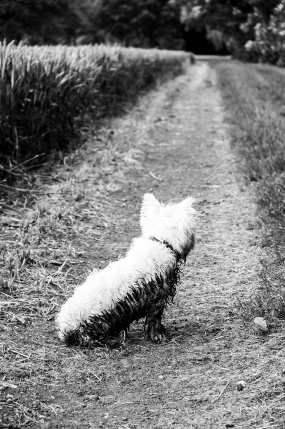 I am Crumpet 11 - Dog Photography - Westie - West Highland terrier