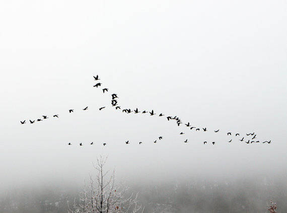 Canada Geese Fly over Lake