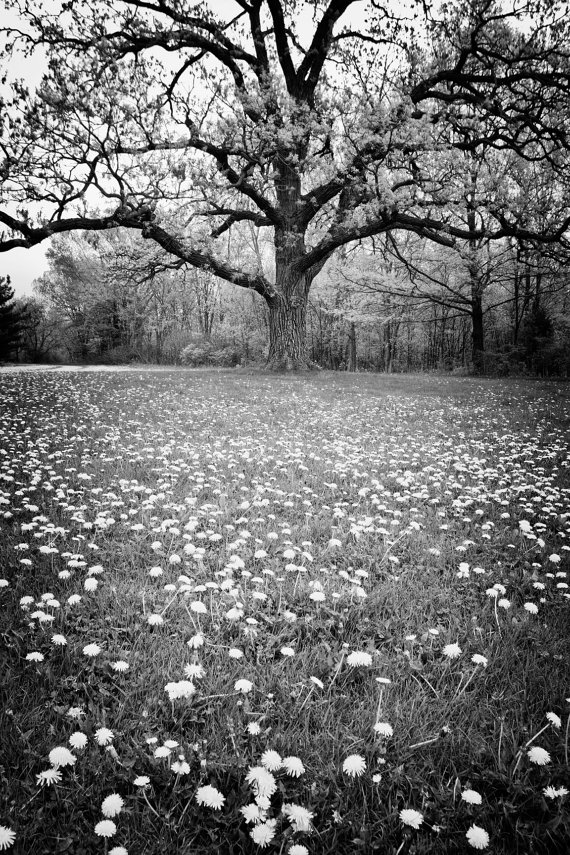 Giant Oak In A Field Of Dandelions