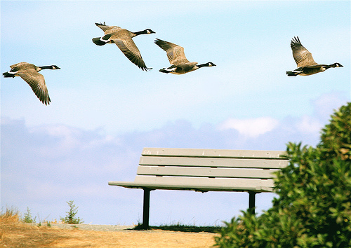 empty nest canada geese flying