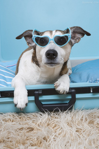 Cool Puppy wearing sunglasses