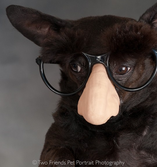 Chihuahua Impersonating Groucho Marx