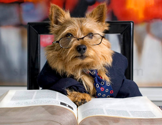 Norwich Terrier Reads Book